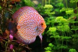 Discus (Symphysodon), multi-colored cichlid in the aquarium
