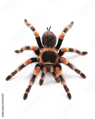 Leinwanddruck Bild Tarantula spider, female (Brachypelma smithi)