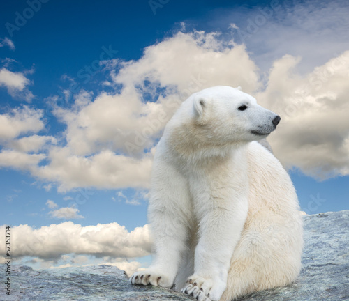 Young polar bear