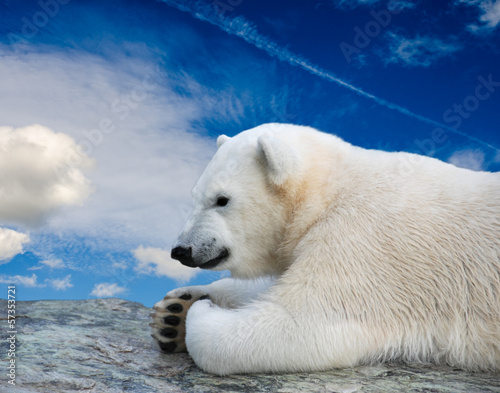 Young polar bear relaxing