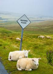 Ausweichplatz mit Schafen