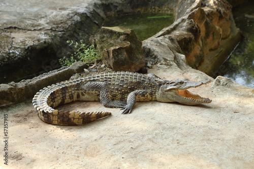 Fototapeten,krokodile,alligator,wasser,tier