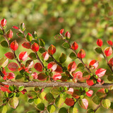 Cotoneaster branch in autumn
