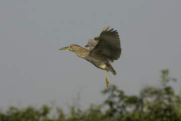 Black-crowned night-heron, Nycticorax nycticorax