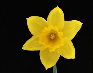 gelbe Narzisse auf Schwarz