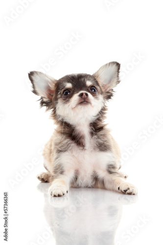 Chihuahua puppy. Cute Chihuahua dog on a white background.