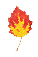 Autumn aspen leaf isolated on white