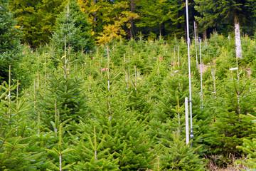 Weihnachtsbäume - Baumschule