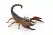 Scorpion - 57371105
