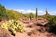 Arizona desert view with saguaro cacti and prickly pear