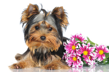 yorkshire terrier puppy with flowers