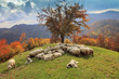 lambs in the autumn in the mountains