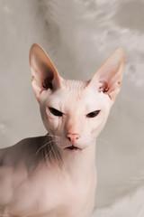 Pink Sphynx cat