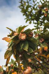 reife Mispel an Mispelbaum hängend