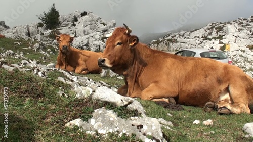 Cows in the Mountain