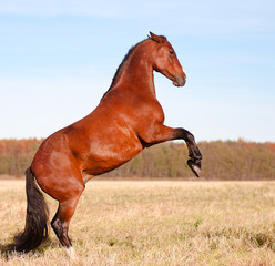 Beautiful bay stallion standing in the meadow