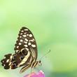 papillon sur fleur de bougainvillée