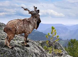 Markhor  in wildness area