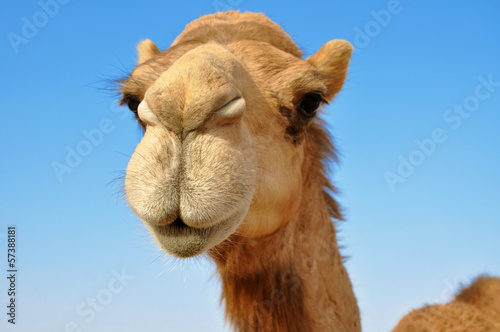 Fotobehang Kameel Close-up of a camel