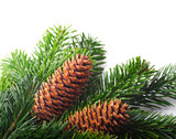 Spruce branches with cones on a white background