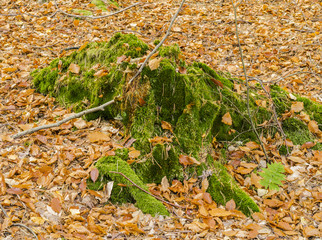 Stump covered with a layer of moss with autumn leaves around