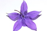 Back view of purple columbine flower