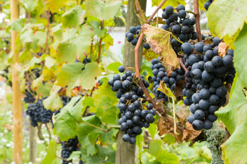 Ripe blue grapes in a vineyard