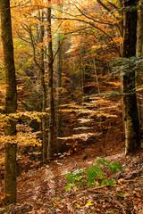 Autumnal beech forest