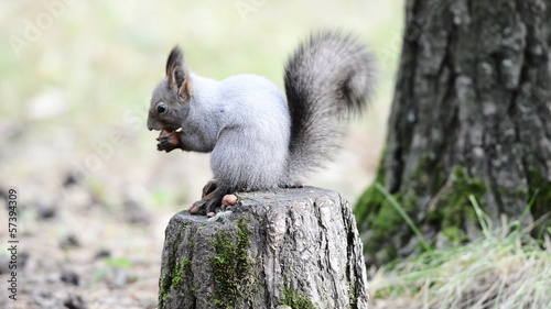 Squirrel eating nuts on a stump