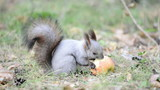 Squirrel eating an apple