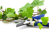 secateurs with branches of ivy plant isolated
