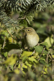 Phylloscopus trochilus / Willow Warbler