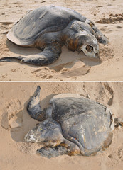 Corpse of the Olive ridley Lepidochelys olivacea