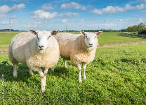 Foto op Aluminium Schapen Two curiously looking sheep