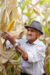 Old man at corn harvest