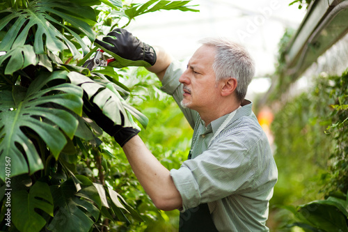 Greenhouse employee trimming a plant