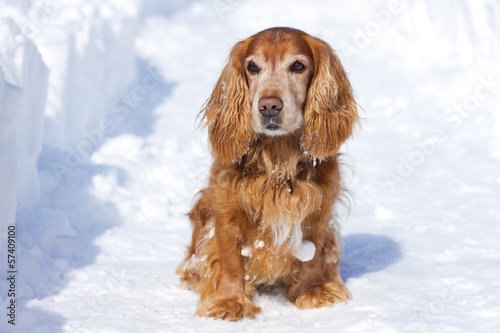 Cocker Spaniel in winter