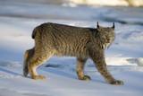Canadian lynx, Lynx canadensis