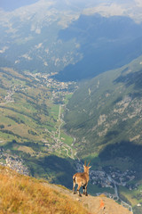Stambecco osserva paese di montagna
