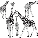 Giraffe collection