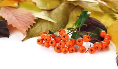 Beautiful autumn leaves with berries isolated on white