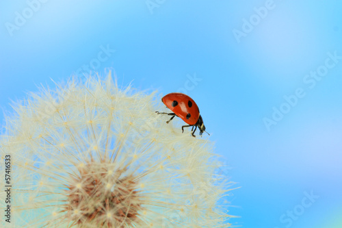 Beautiful ladybird  on dandelion, close up