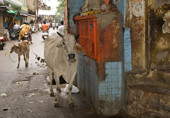 Holy cow, Alwar, Rajasthan, India
