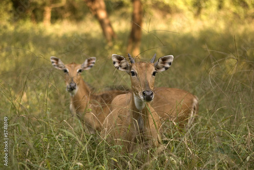 Nilgai antelopes, Sariska Game Reserve, Rajasthan, India