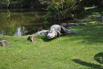 Crocodile on the Miami Everglades