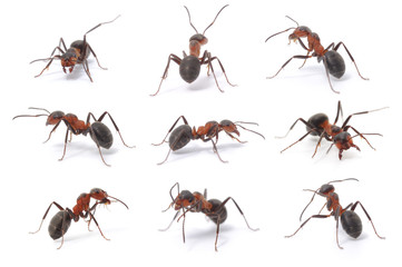 brown forest ants