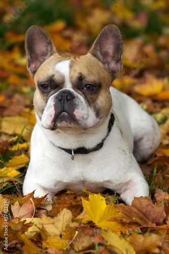 French Bulldog, Französische Bulldogge, Bouledogue