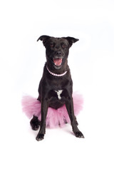 Smiling Black Mixed-Breed Dog in Pink Tutu and Pearl Necklace