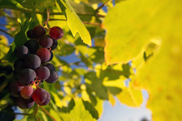 Red ripe grapes