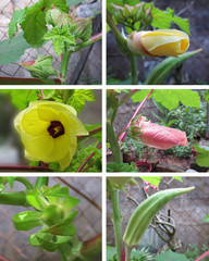 Okras Stages(lady finger)